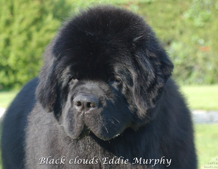 Фото: ньюфаундленд Black Clouds Eddie Murphy