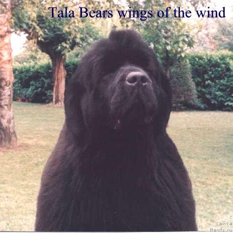 Фото: ньюфаундленд Tala Bear's Wings of the Wind