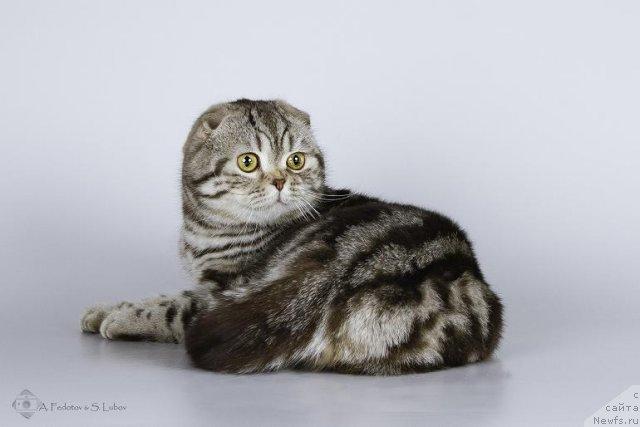 Питомник британских шотландских вислоухих кошек RENESMEE